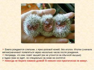 Ежата рождаются слепыми, с ярко-розовой кожей, без иголок. Иголки (сначала м