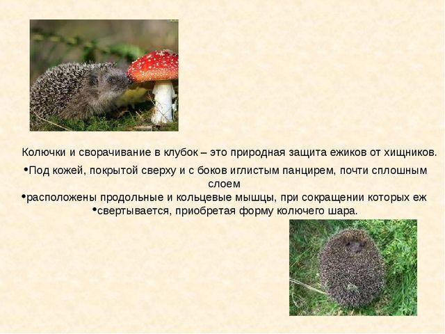 Колючки и сворачивание в клубок – это природная защита ежиков от хищников. По...