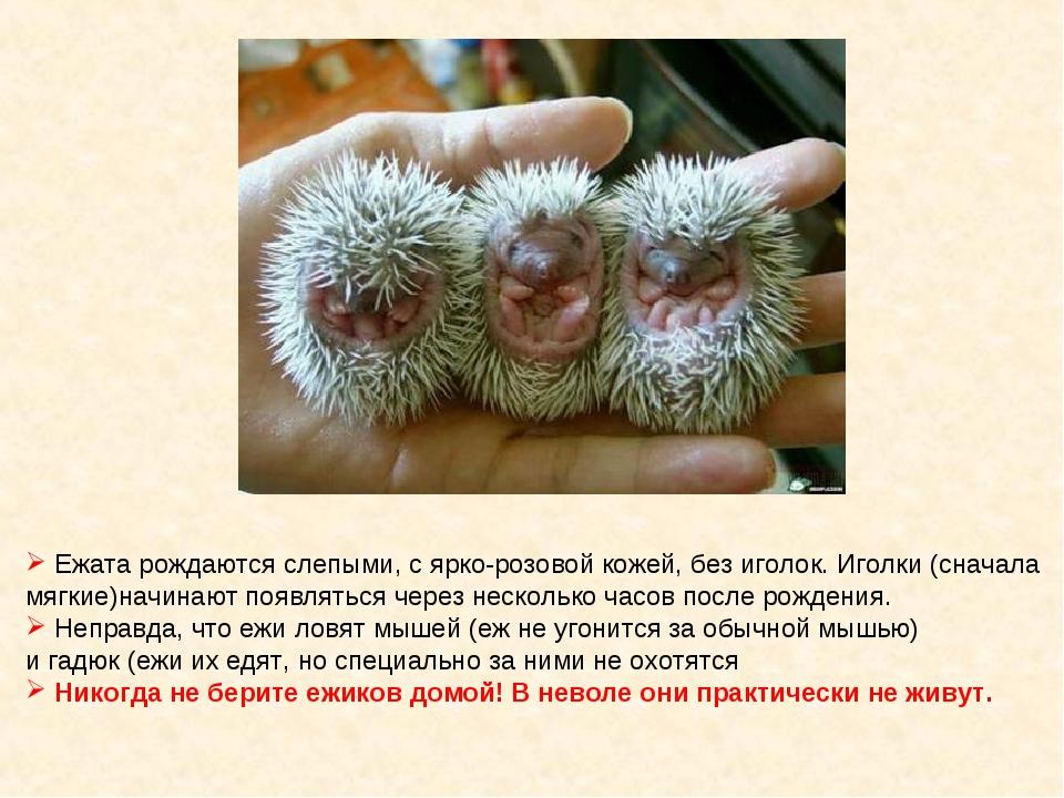 Ежата рождаются слепыми, с ярко-розовой кожей, без иголок. Иголки (сначала м...