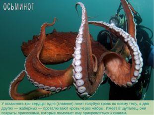 У осьминога три сердца: одно (главное) гонит голубую кровь по всему телу, а д