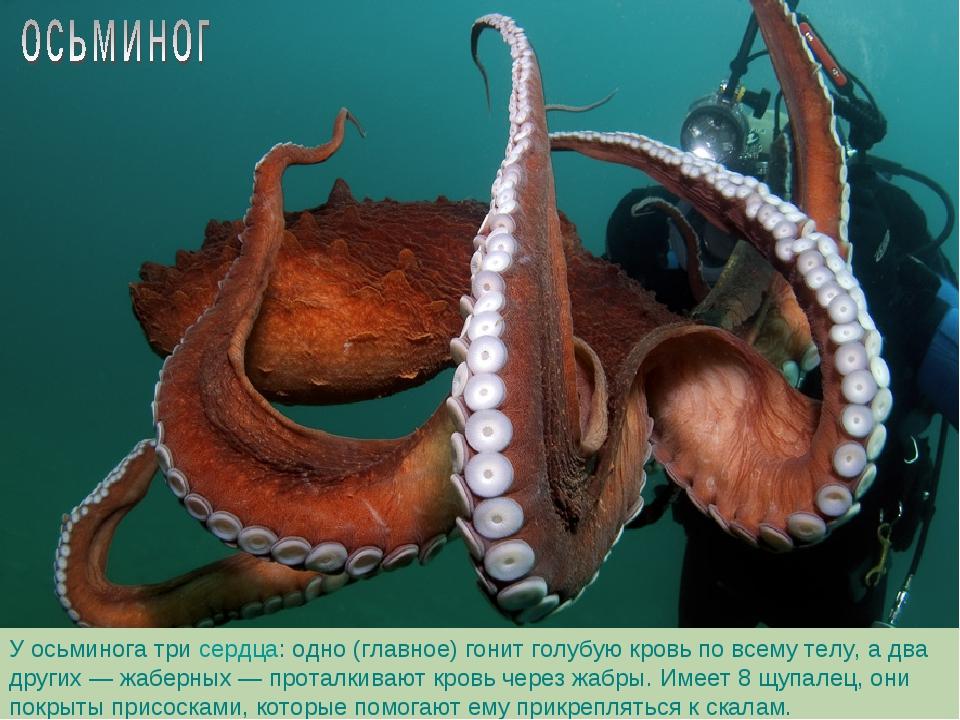У осьминога три сердца: одно (главное) гонит голубую кровь по всему телу, а д...