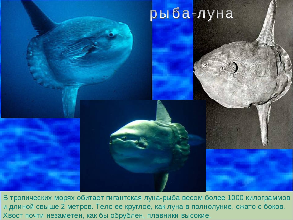 В тропических морях обитает гигантская луна-рыба весом более 1000 килограммов...