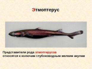 Представители рода этмоптерусов относятся к колючим глубоководным мелким акул