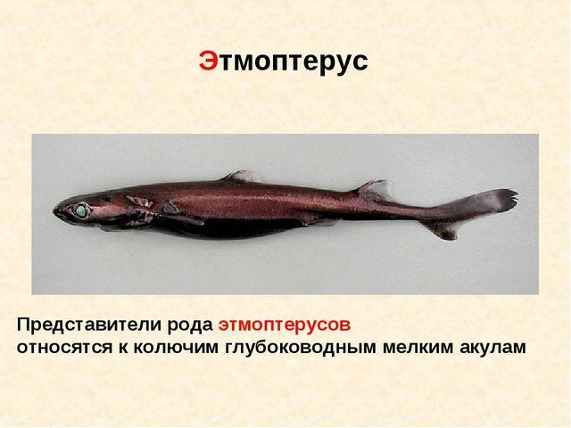 Представители рода этмоптерусов относятся к колючим глубоководным мелким акул...
