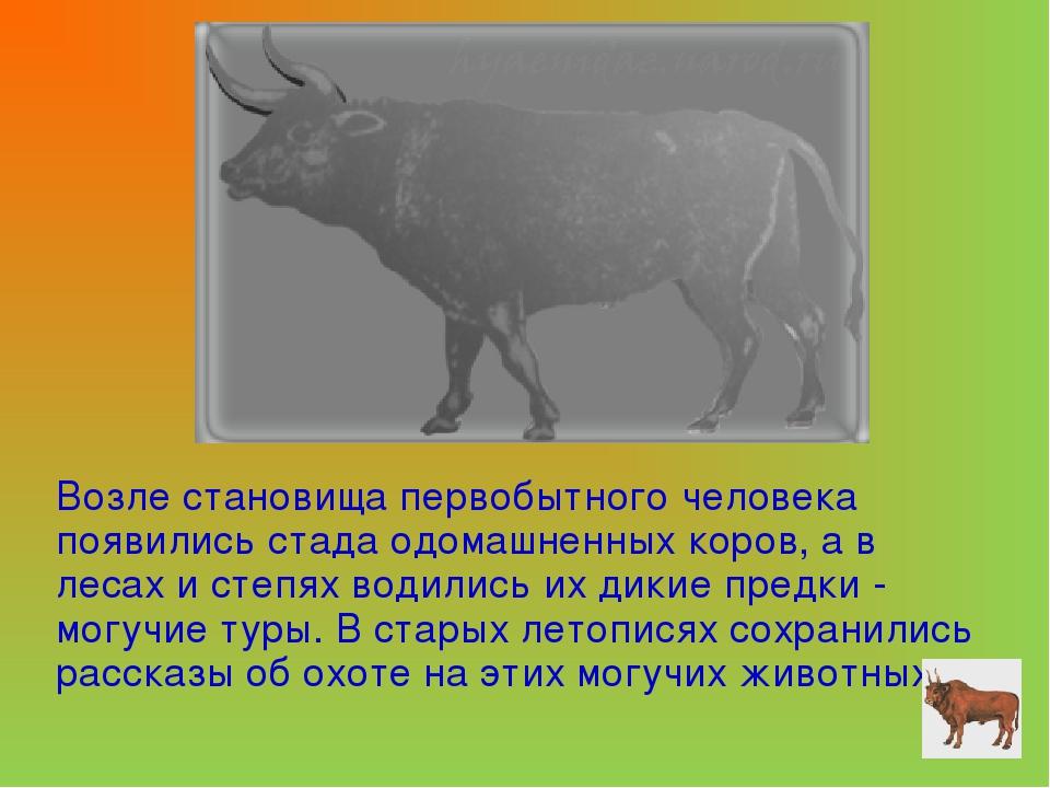 Возле становища первобытного человека появились стада одомашненных коров, а в...