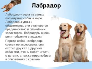 Лабрадор Лабрадор – одна из самых популярных собак в мире. Лабрадоры умны и о