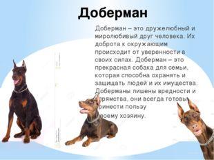 Доберман Доберман – это дружелюбный и миролюбивый друг человека. Их доброта к