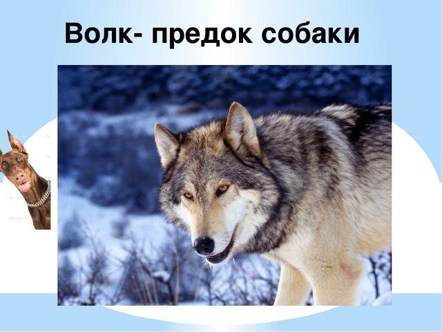 Волк- предок собаки