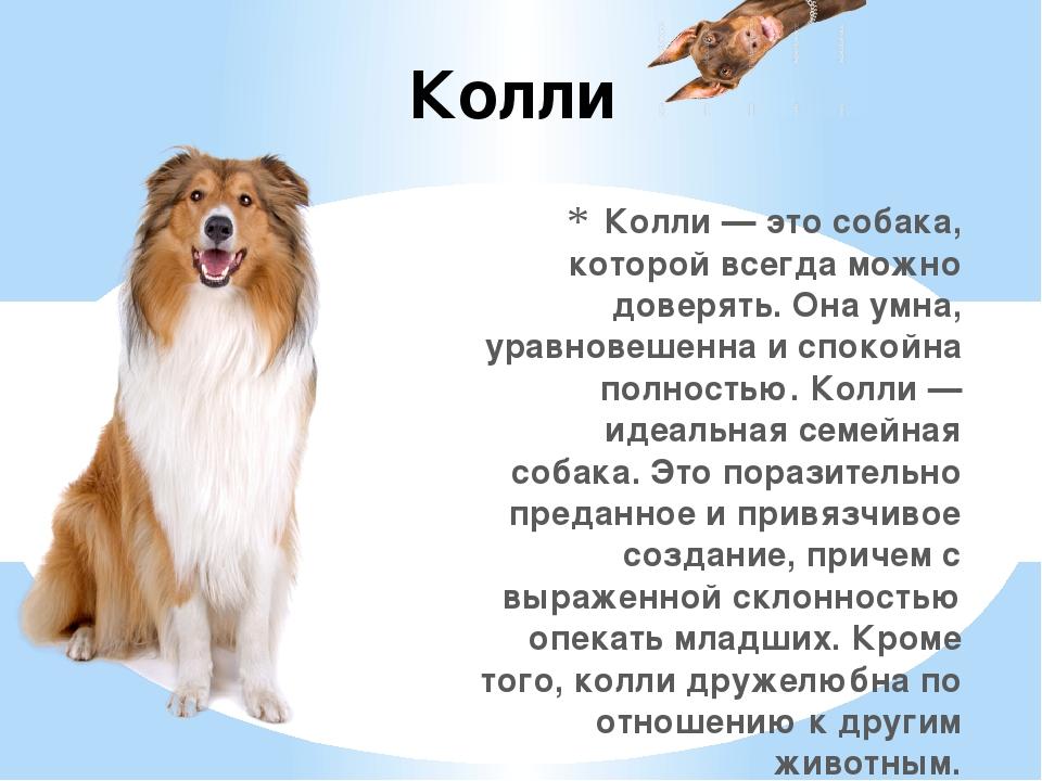 Колли — это собака, которой всегда можно доверять. Она умна, уравновешенна и...