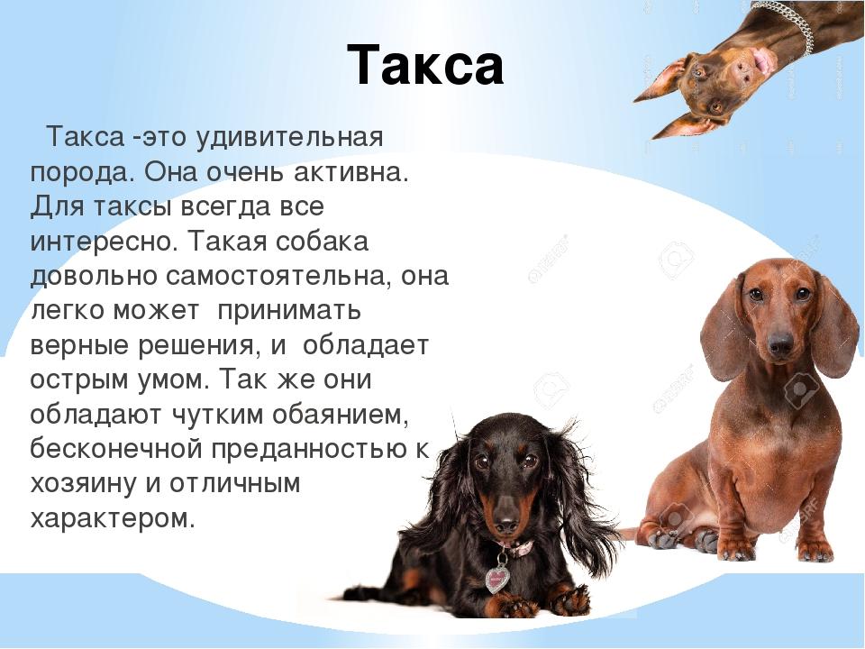 Такса Такса -это удивительная порода. Она очень активна. Для таксы всегда все...
