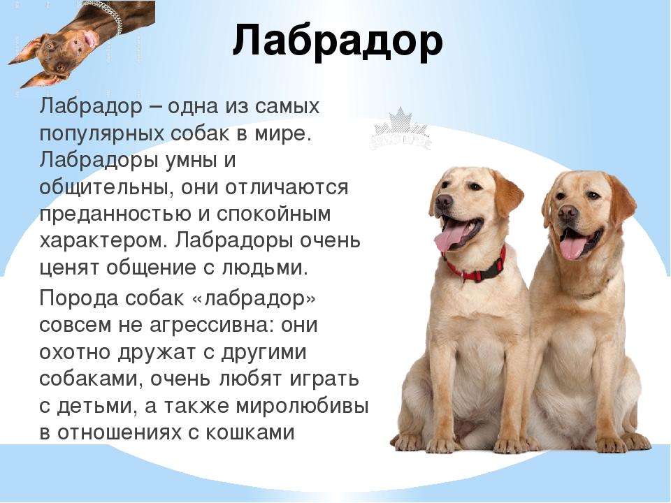 Лабрадор Лабрадор – одна из самых популярных собак в мире. Лабрадоры умны и о...