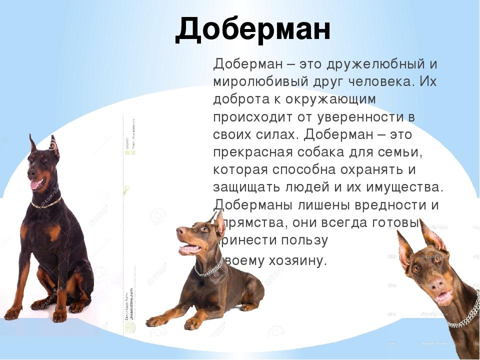 Доберман Доберман – это дружелюбный и миролюбивый друг человека. Их доброта к...