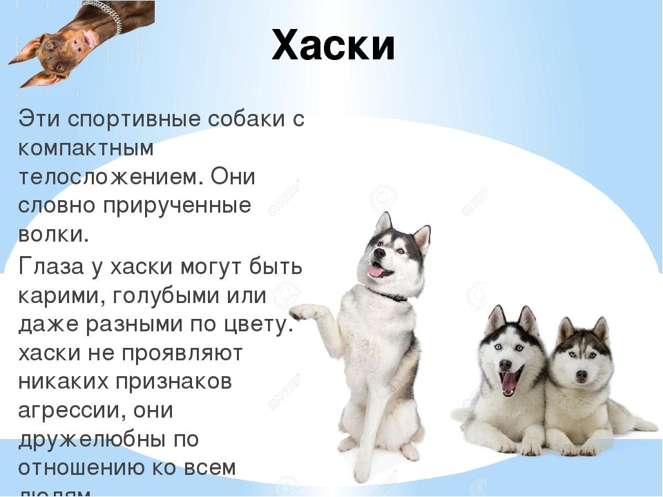 Хаски Эти спортивные собаки с компактным телосложением. Они словно прирученны...
