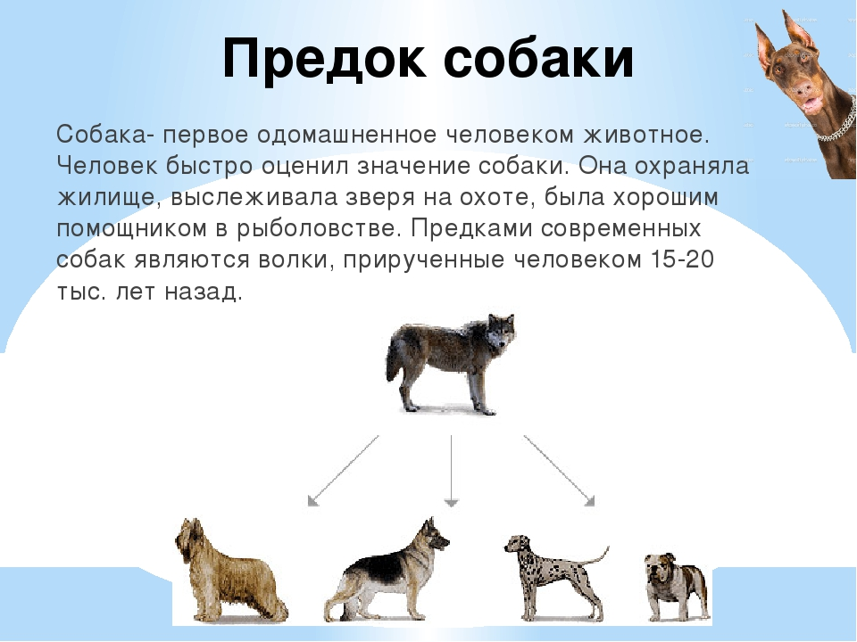 Предок собаки Собака- первое одомашненное человеком животное. Человек быстро...