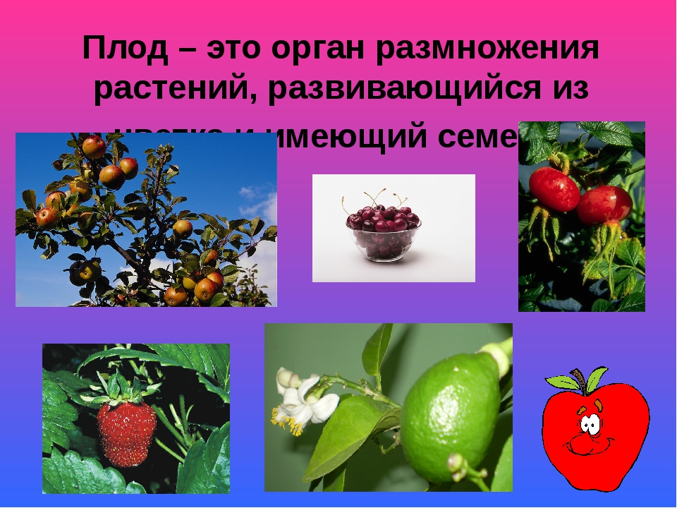 Плод – это орган размножения растений, развивающийся из цветка и имеющий семе...