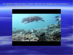 Во время плавания хвост также помогает его владельцу не утонуть и плыть в нуж