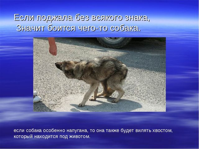 Если поджала без всякого знака, Значит боится чего-то собака. если собака ос...