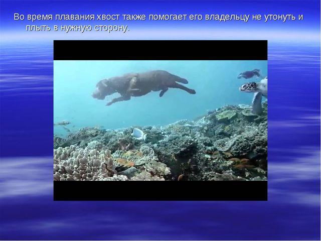 Во время плавания хвост также помогает его владельцу не утонуть и плыть в нуж...