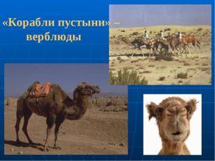 «Корабли пустыни» – верблюды