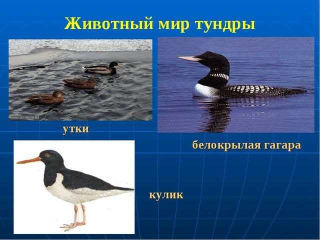 Животный мир тундры утки белокрылая гагара кулик