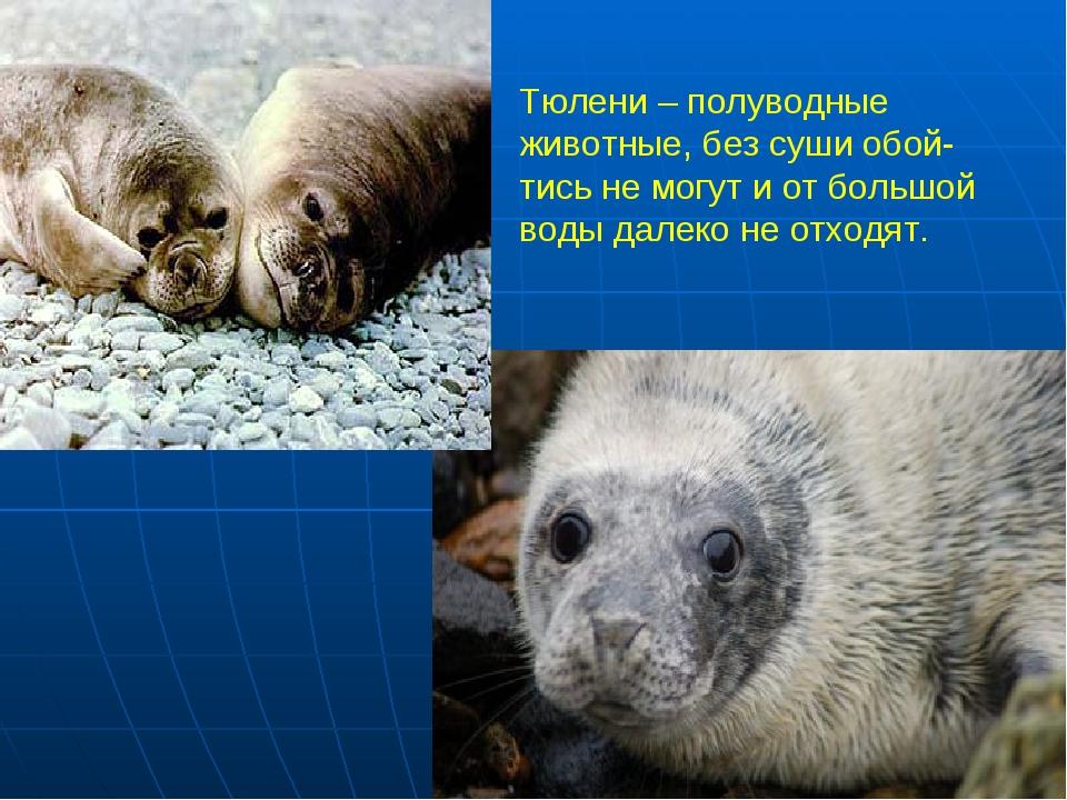 Тюлени – полуводные животные, без суши обой- тись не могут и от большой воды...