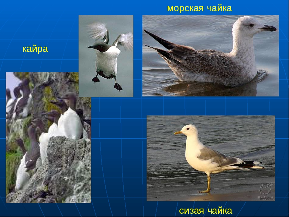 кайра морская чайка сизая чайка