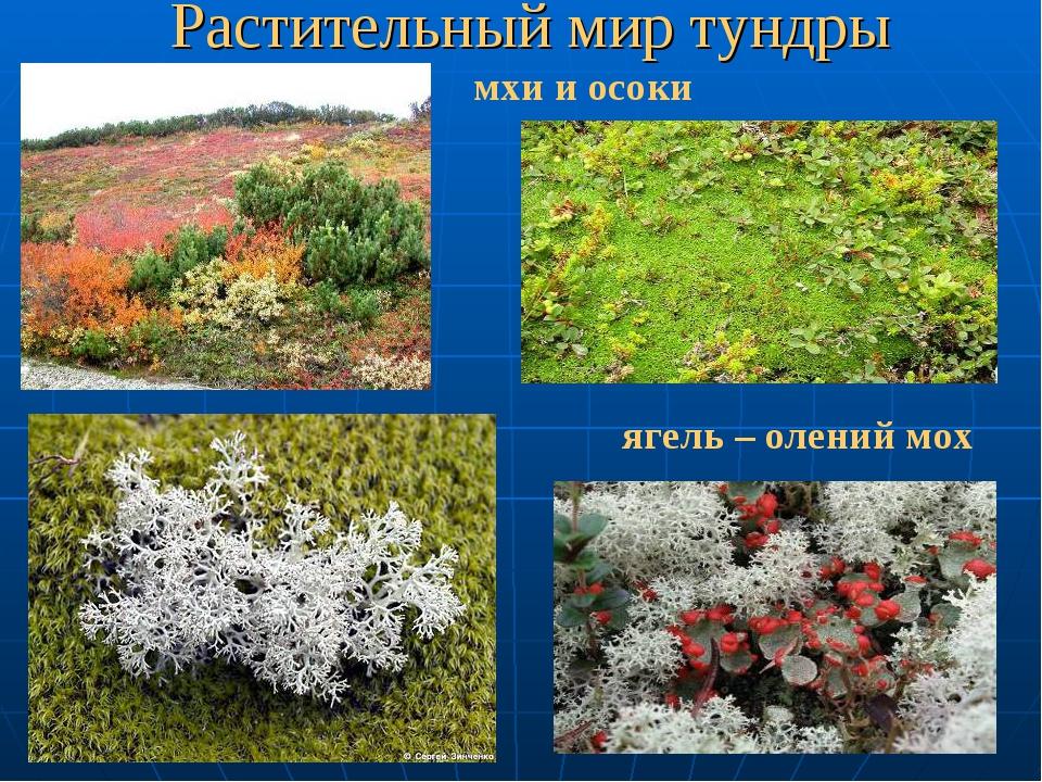 Растительный мир тундры мхи и осоки ягель – олений мох