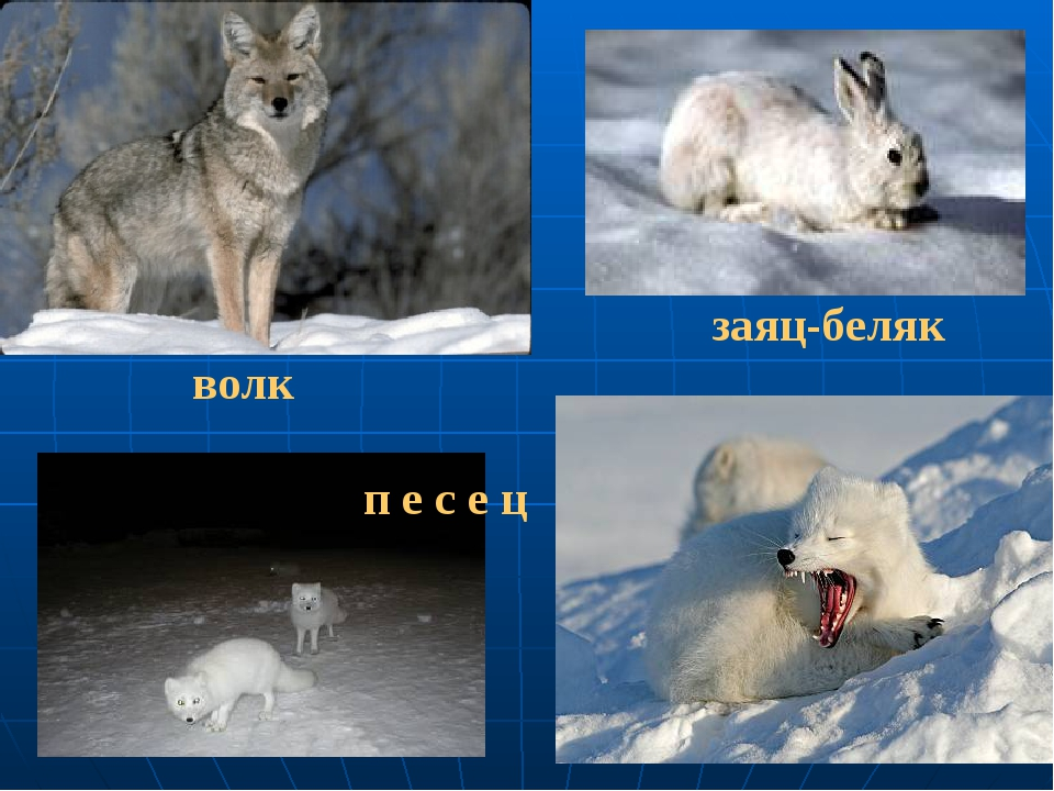 волк заяц-беляк п е с е ц