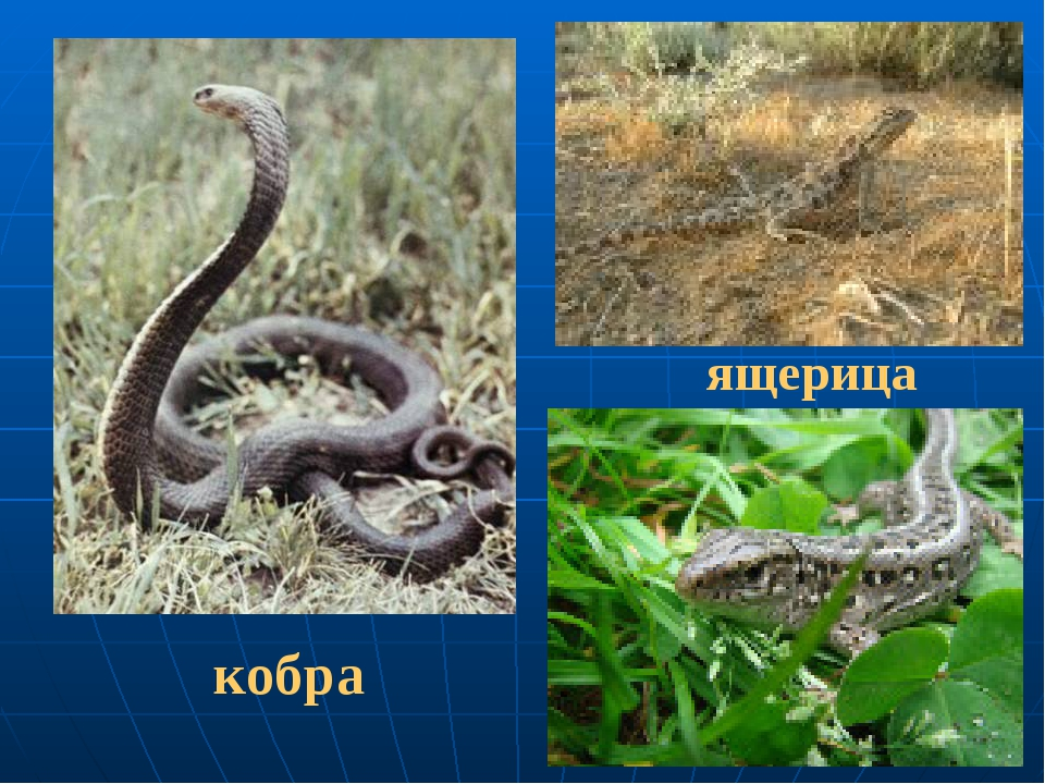ящерица кобра