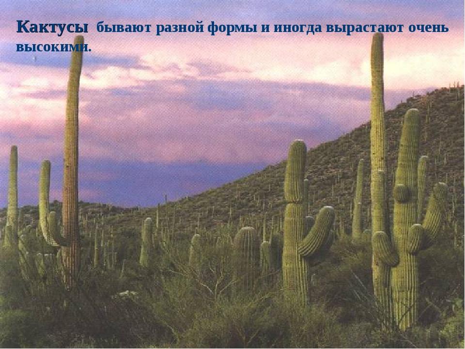 Кактусы бывают разной формы и иногда вырастают очень высокими.