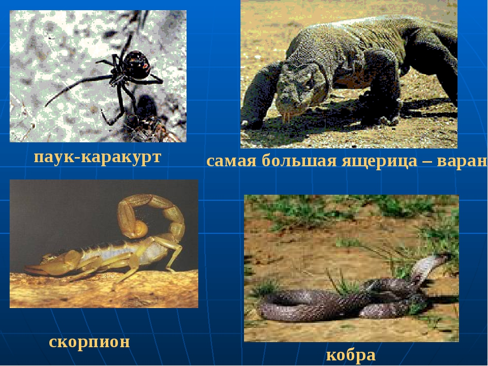 паук-каракурт скорпион самая большая ящерица – варан кобра
