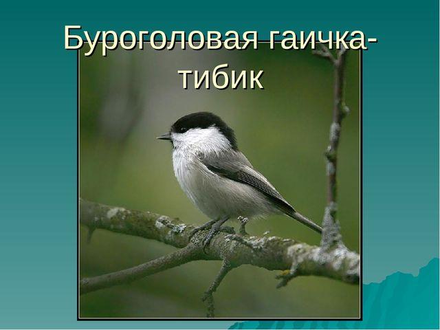 Буроголовая гаичка-тибик