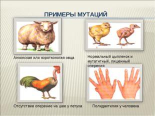 ПРИМЕРЫ МУТАЦИЙ Анконская или коротконогая овца Нормальный цыпленок и мутатнт