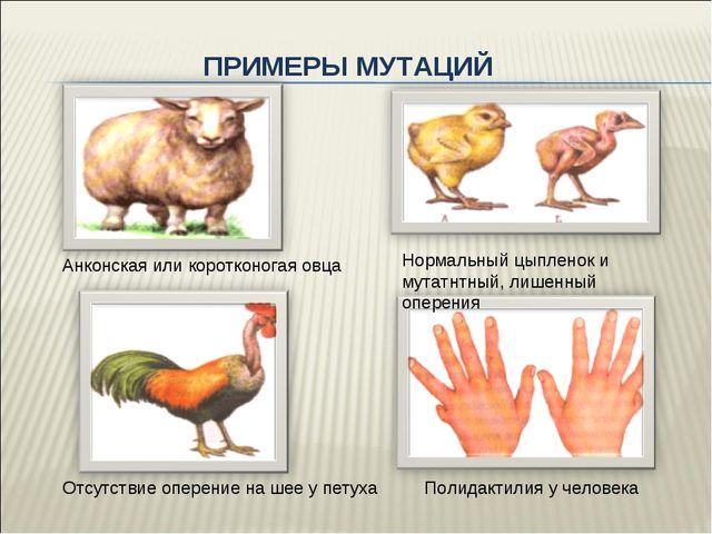 ПРИМЕРЫ МУТАЦИЙ Анконская или коротконогая овца Нормальный цыпленок и мутатнт...