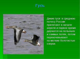 Гусь Дикие гуси всреднюю полосу России прилетают вначале апреля ипервое вр