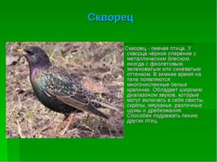 Скворец Скворец - певчая птица. У скворца чёрное оперение с металлическим бле