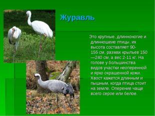 Журавль Это крупные, длинноногие и длинношеие птицы, их высота составляет 90-