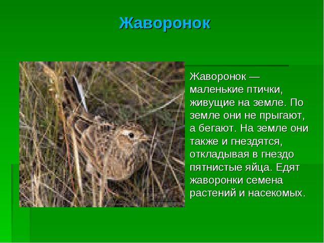 Жаворонок Жаворонок — маленькие птички, живущие на земле. По земле они не пры...