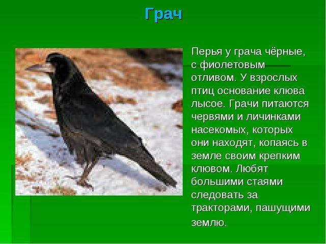 Грач Перья у грача чёрные, с фиолетовым отливом. У взрослых птиц основание кл...