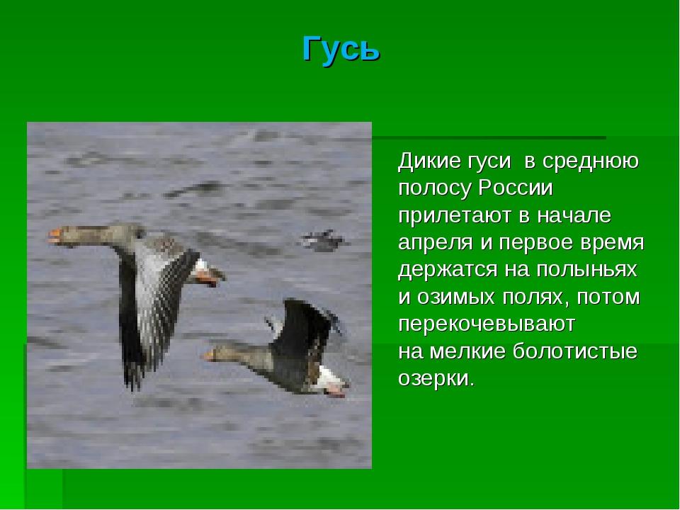 Гусь Дикие гуси всреднюю полосу России прилетают вначале апреля ипервое вр...