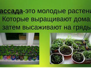 Рассада-это молодые растения, Которые выращивают дома, затем высаживают на г
