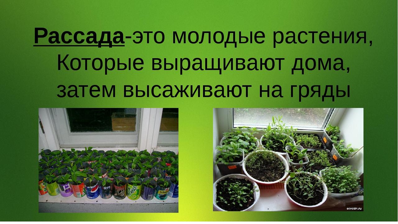 Рассада-это молодые растения, Которые выращивают дома, затем высаживают на г...