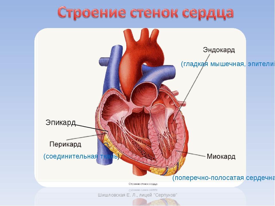 (соединительная ткань) (поперечно-полосатая сердечная) (гладкая мышечная, эпи...