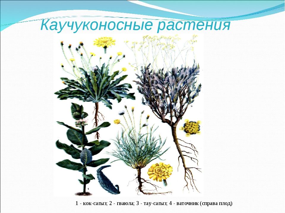 Каучуконосные растения 1 - кок-сагыз; 2 - гваюла; 3 - тау-сагыз; 4 - ваточник...