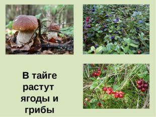 В тайге растут ягоды и грибы