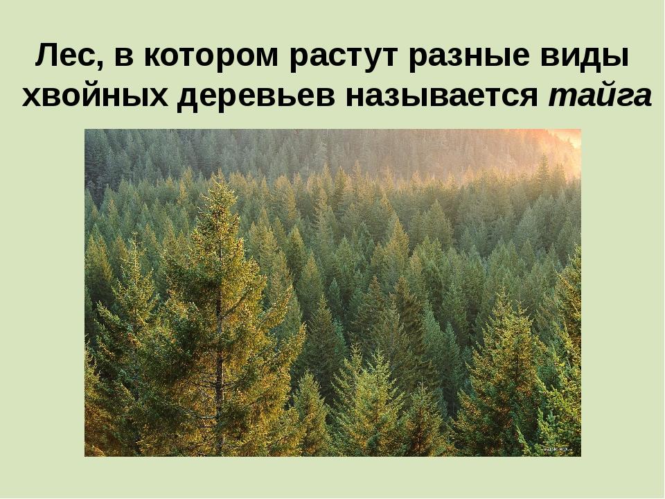 Лес, в котором растут разные виды хвойных деревьев называется тайга
