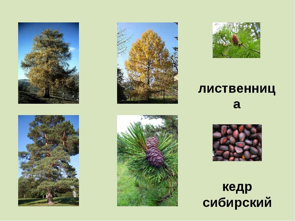 лиственница кедр сибирский