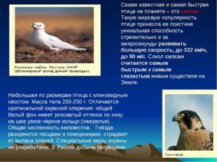 Небольшая по размерам птица с клиновидным хвостом. Масса тела 200-250 г. Отл