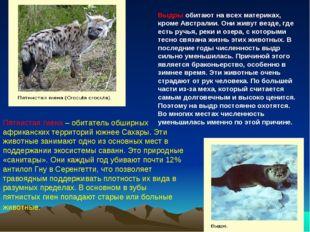 Пятнистая гиена – обитатель обширных африканских территорий южнее Сахары. Эти