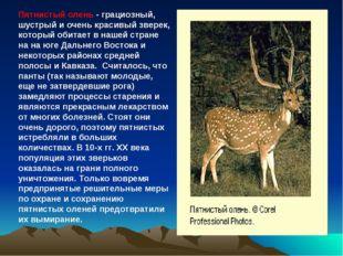 Пятнистый олень - грациозный, шустрый и очень красивый зверек, который обитае